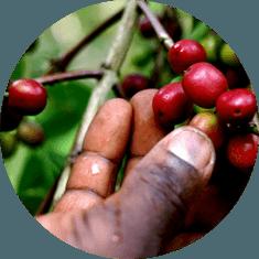 сорта и география кофе